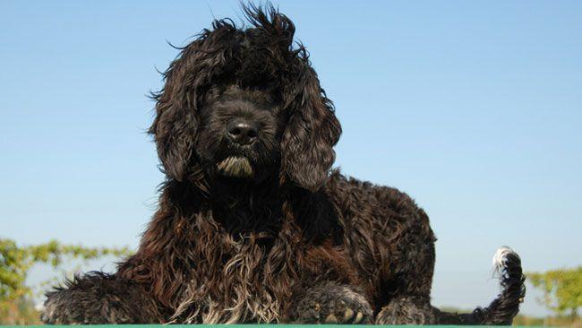 Le chien d'eau portugais propulsé au rang de star!