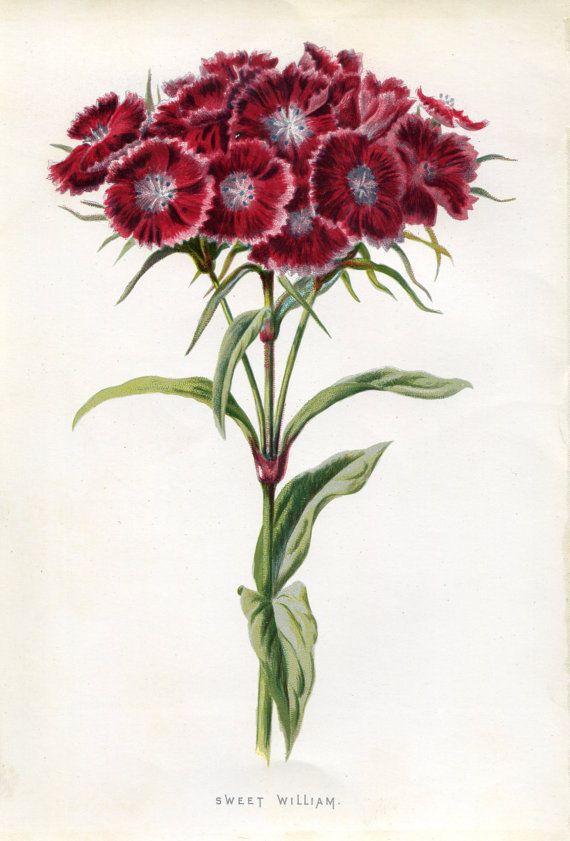 Dianthus barbatus - Antique Original Original Coloured Bookplate Color Book Plate Vintage Print E. Hulme Familiar Garden Flowers 1890 - Sweet William