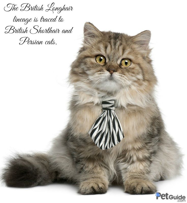 100 Best Cat Breeds Images On Pinterest