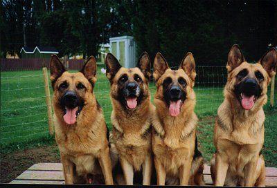 German shepherd love: German Shepherd