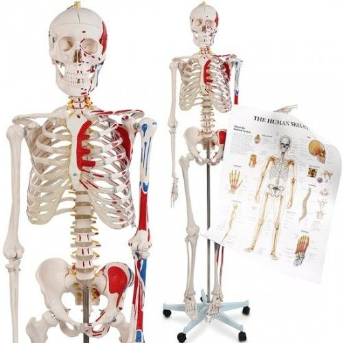 Luuranko 2, 269,95€. Anatomisesti oikeaoppinen luuranko, hermosto, lihakset sekä nikamavaltimot. Erinomainen anatomiseen opetus- ja informaatiokäyttöön soveltuva luuranko. Luurangossa noin 200 luuta ja niihin maalatut lihakset. Ilmainen toimitus! #luuranko
