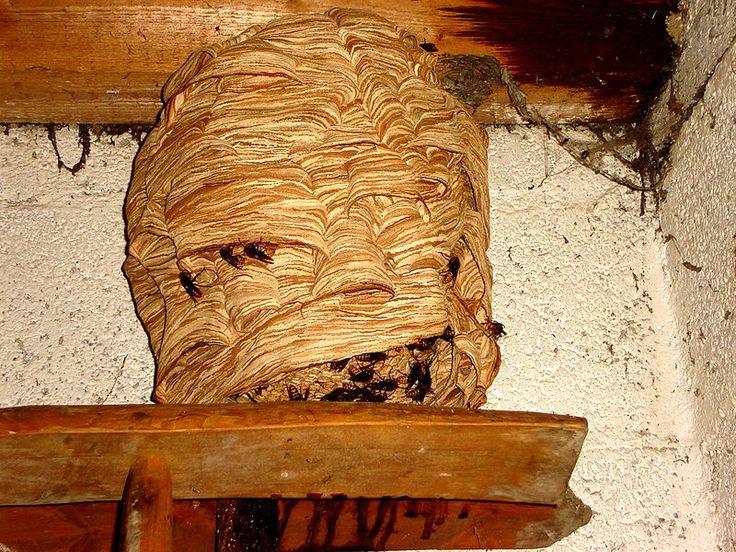 hoornaars nest