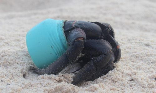 One of many hundreds of crabs that now make their homes out of plastic debris washed up on Henderson Island in the Pitcairn islands, South Pacific. This particular item is an Avon cosmetics jar. (Jennifer Lavers)