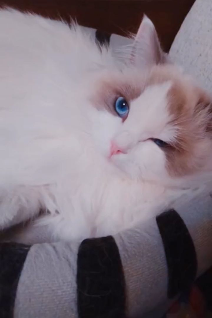 Male Vs Female Ragdoll Cats Which Are Better Cats To Own As Pets