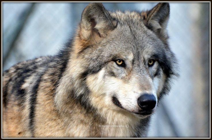 Photo Loup du Canada par Vincent Maturana on 500px