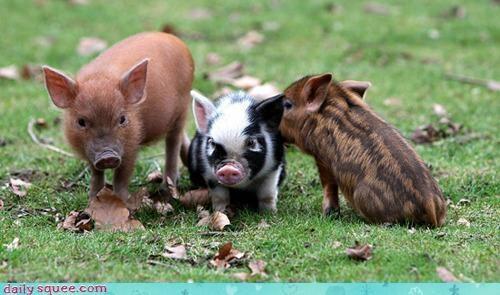 patterned piggiesPiglets, Three Little Pigs, Pets, Minis Pigs, Baby Pigs, Black White, Piggies, Teacups Pigs, Animal