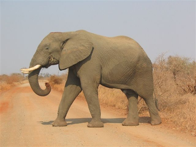 African Elephant - photo from All-Informationz;  Male and female African elephants have tusks, but only male Asian elephants have them. Just like humans are right handed or left handed, so, too, are elephants right tusked or left tusked. The one they favor has been ground down and is shorter from the constant use.