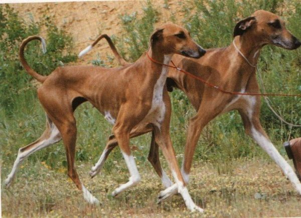 11 Rare Dog Breeds That Are Totally Underrated