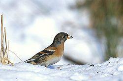 Bergfink. Fringilla montifringilla