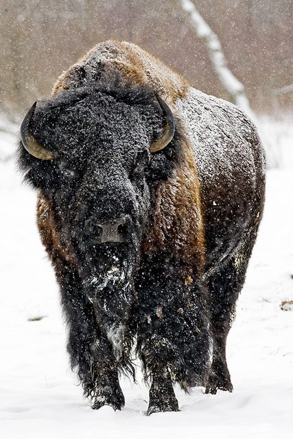 American Bison (1-11-11)_9845 by johndykstraphotography on Flickr.