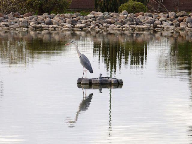 Desde las Islas Canarias  ..Fotografias  : Fauna urbana ...Garza Real reflejos en el agua ......