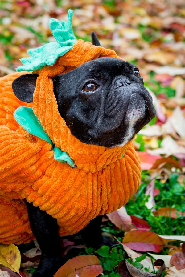 Happy Tails: Russell   Howl-O-Ween   French bulldog ...   600 x 900 jpeg 115kB