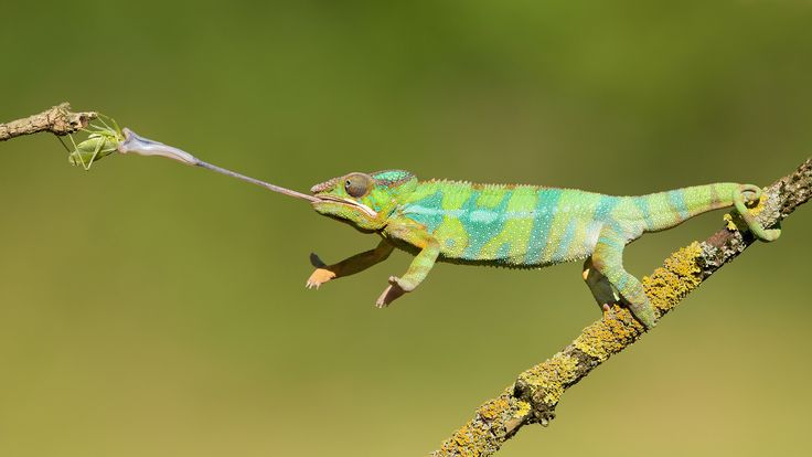 9 Awesome Chameleon Facts. - Random Facts