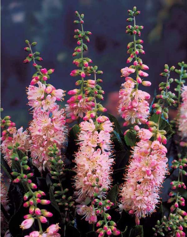 Les 23 meilleures images du tableau plantes et couleurs d - Plantes fleuries d automne ...