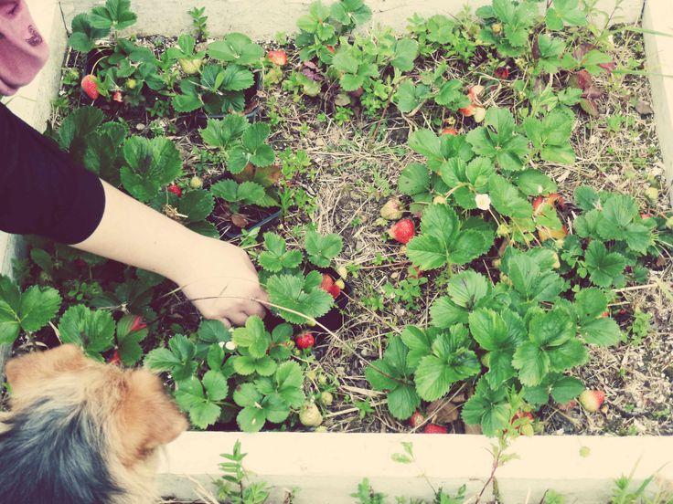 1ères fraises !