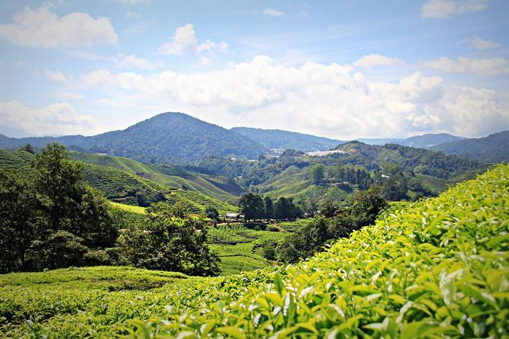 Çay bahçeleri, Cameron Highlands