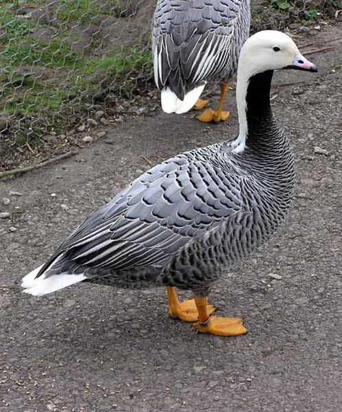 Emperor Goose - It breeds around the Bering Sea, mostly in Alaska, but also in Kamchatka, Russia. It is migratory, wintering mainly in the Aleutian Islands.