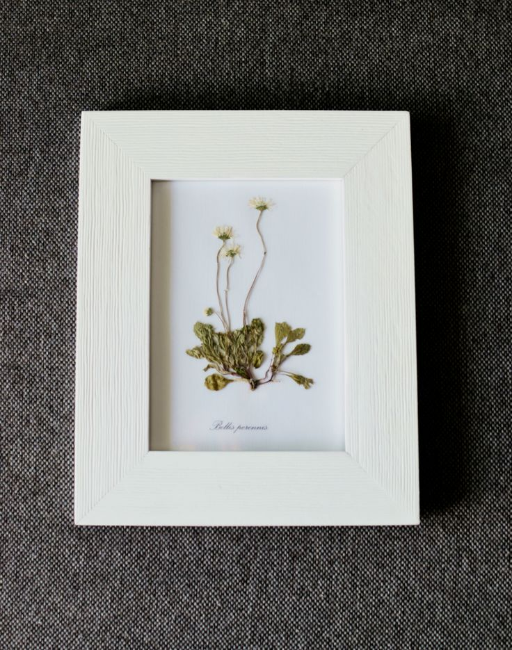 Flora Concept no. 1 Bellis perrenis