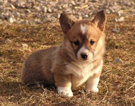Welsh Corgi puppy, adorable.
