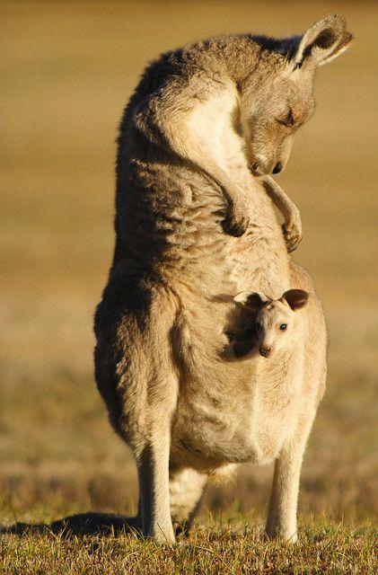 See a Kangaroo