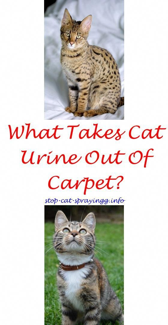 Cat Spraying Lifting Back Feet Forum