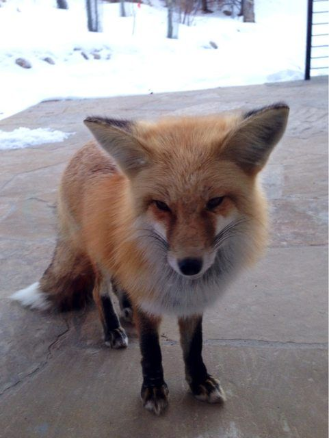 What did the fox say what does the fox say pinterest