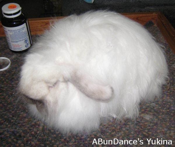 20 best images about Fuzzy lop rabbits on Pinterest   The ...