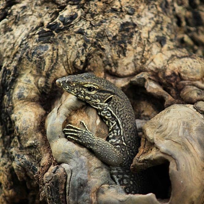 Sri Lanka lizard Yala National Park