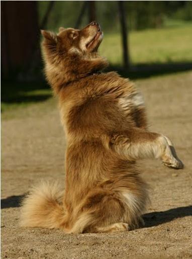 Finnish Lapphund - dogs Photo