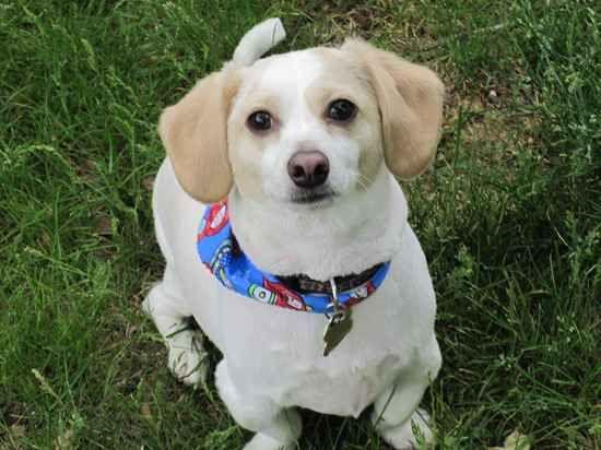 D 111 Cheagle Beagle Amp Chihuahua Designer Dogs I