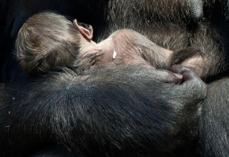 Shira, la gorilla con il suo cucciolo appena nato (Ansa)