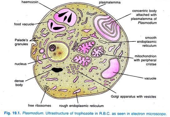 Plasmodium. Ultrastructure of trophozoite in R.B.C.