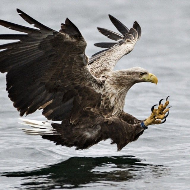 A white tailed eagle in Flatanger Nord Trøndelag, Norway