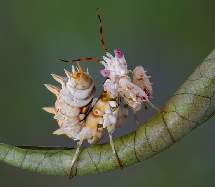 A spiny flower mantis nymph poses perfectly atop a rolled leaf. (Photo: Cathy Keifer/Shutterstock)