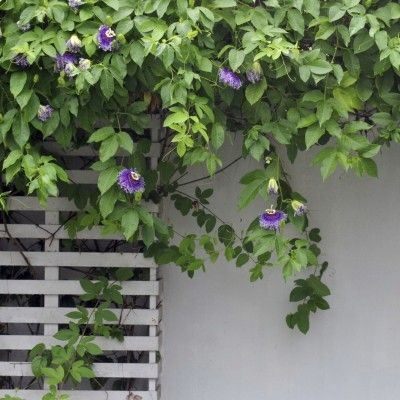 Passion Flower Vine Pruning: Tips For Cutting Back Passion Vines - Passion vines are tropical to semi-tropical flowering and fruiting plants that need pruning and training by the second year. Learn more about how and when to prune passion flower vines in this article. Click here for more info.