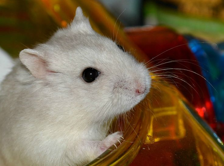 how to take care of winter white hamster
