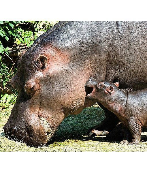 A 2-day-old hippo plays with its mother, Helvetia, at the Basel Zoo in Switzerland.// ok, never realized how adorable baby hippos are!!!! soooo cute!