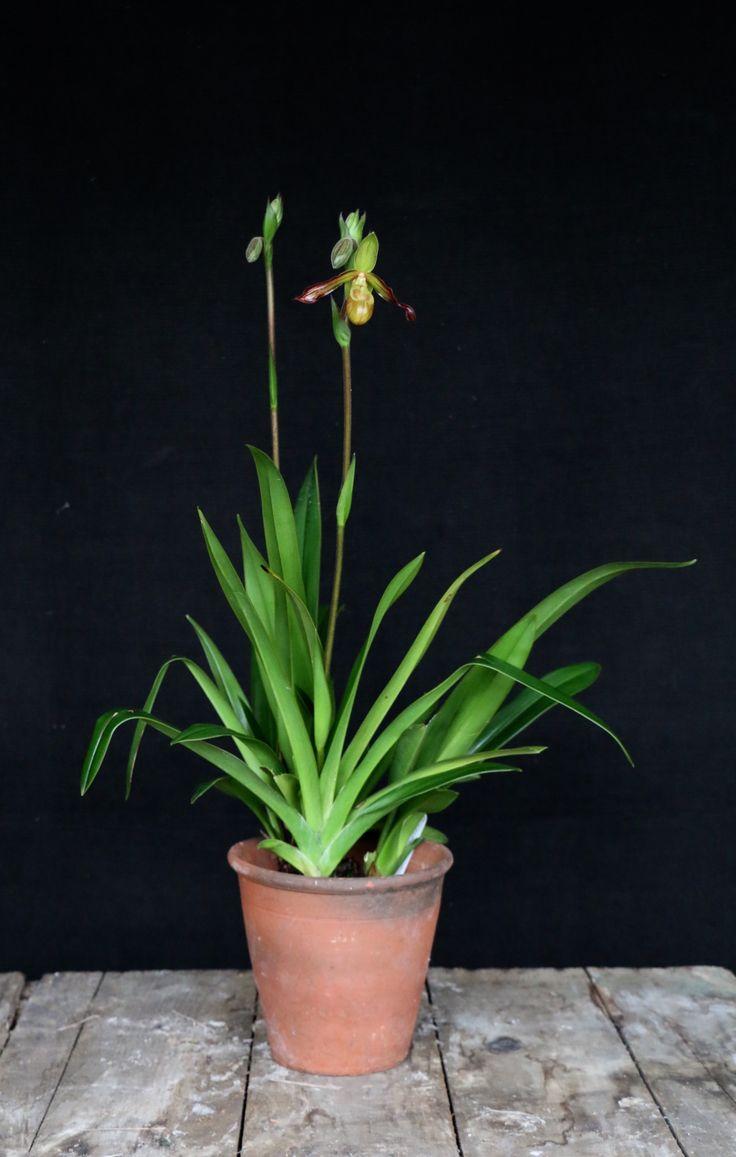 McBeans | McBeans Orchids