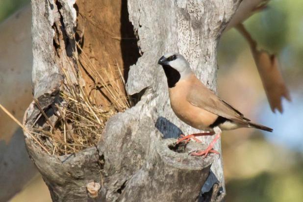 الحسون الراهب او الفينش اسود الحلق موضوع شامل حول هذا الطائر طيور العرب Animals Bird