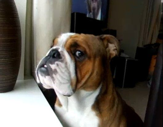 Funny Bulldog Sings Along with Luciano Pavarotti (Video) Apr-2013 in Funny Pictures