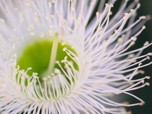 A beautiful flowering gum
