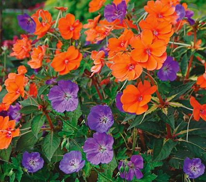 Two to Tango annuals--cool violet-blue Geraniums ('Rozanne') complement fiery orange blooms of Impatiens ('Tango')
