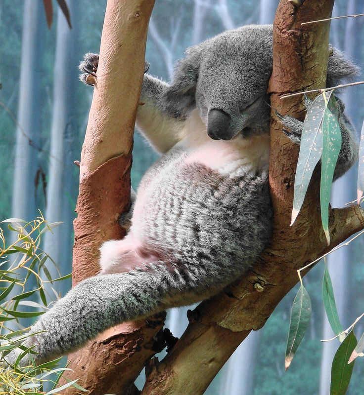 Koala named Omaroo taking a snooze | Picture of Omaroo weigh… | Flickr