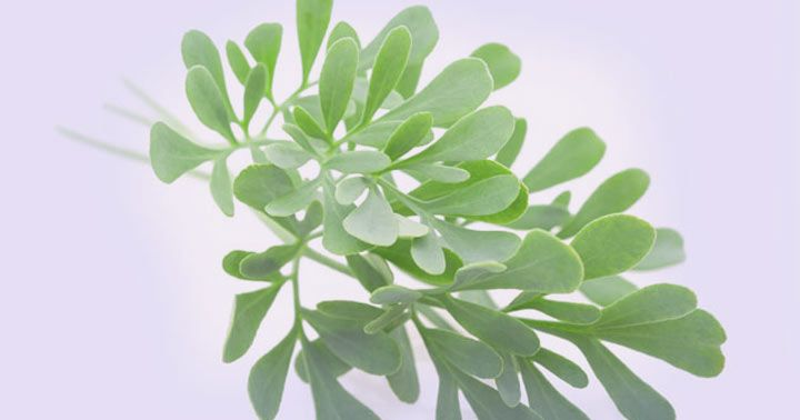 Banho De Arruda Para Que Serve Veja Seus Beneficios Folhas De Plantas Arruda E Banho