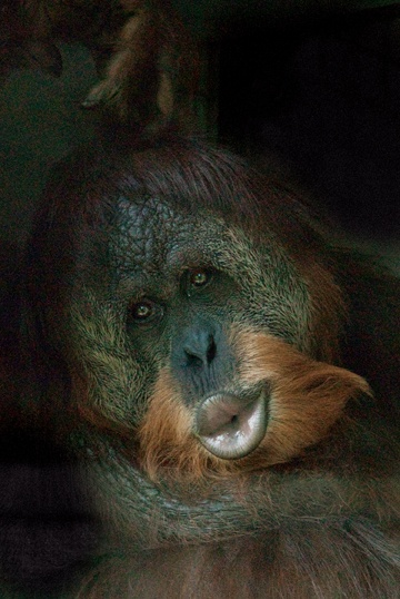 The Sumatran Orangutan is listed as critically endangered, and they are believed to be the most endangered among all of the primates. Deforestation is one of the leading threats to the livelihood of the orangutans.  I support:  Orangutan Foundation International.