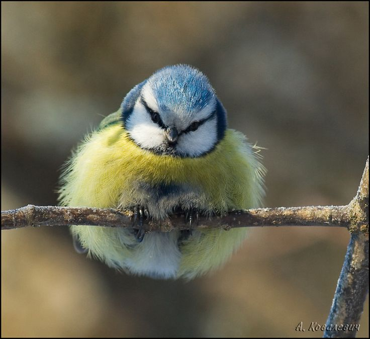 Almost too much cuteness to bear!   org.=Колобок в ушанке: Funny Animal Pics, Little Birds, Bees Eater, Bluetits, Ears, Blue Tits, Yellow, Beautiful Birds, Natural