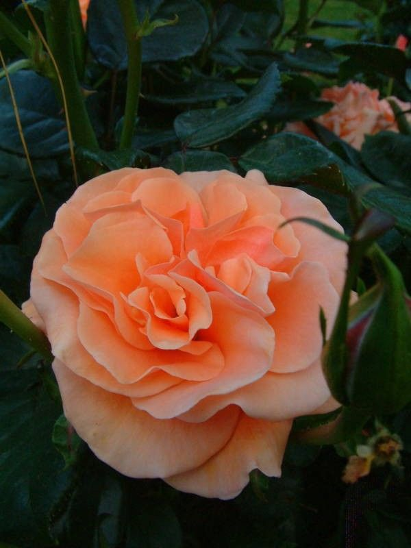 'Faithful Friend' | Hybrid Tea rose