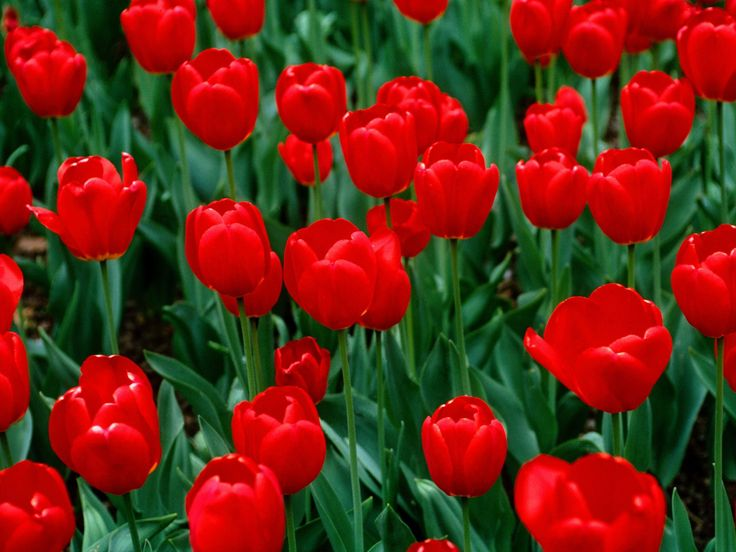 You can plant a Red Dynasty tulip in large floral blocks, with groups of red tulip bulbs, or with a variety of other colored tulips. Description from…
