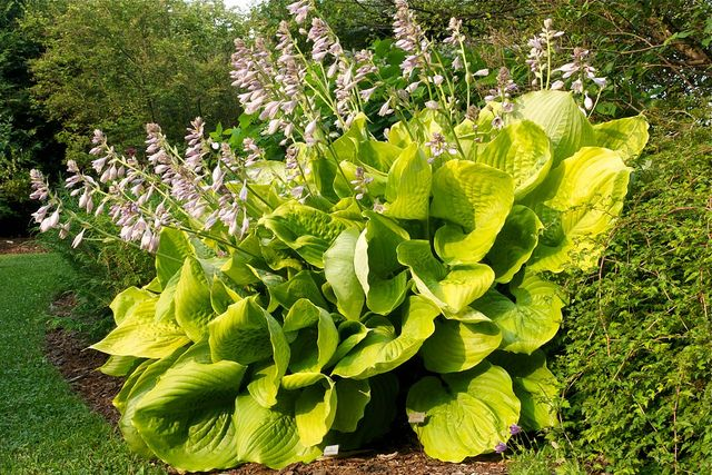 Hosta 'Sum and Substance.' An incredibly large hosta that was introduced in 1980. This hosta is a classic and the standard by which other giant hosta are judged.