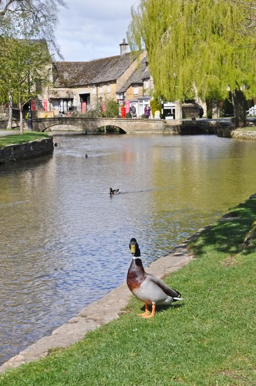 """The village of Bourton on the Water is known for its picturesque High Street, flanked by long wide greens and the River Windrush that runs through them. The river is crossed by several low, arched stone bridges. These arched bridges lending to Bourton-on-the-Water being called the """"Venice of the Cotswolds""""."""